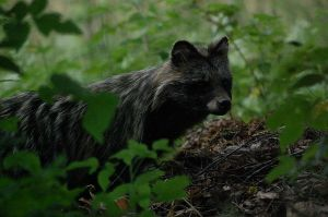 raccoon dog by moussee