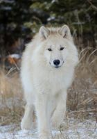 Arctic Wolf by White-Voodoo