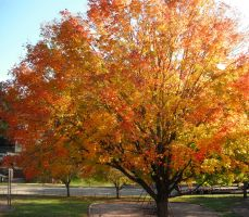 Fall Trees in Grant Park by crewfan16