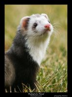 Portrait of a Ferret by metatetron-photos