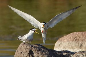 Where's me chips?? Little tern by Jamie-MacArthur