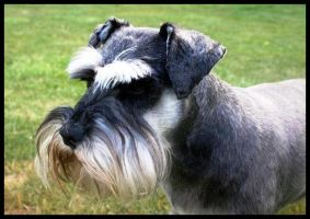 Portrait of a schnauzer by BimaFatima