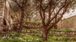 Them Olive Trees (HD Wallpaper) by Pimpernel