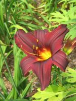 deep red lilly 02 by CotyStock