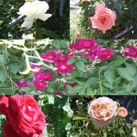 Roses Around My Home by LadyKailitha