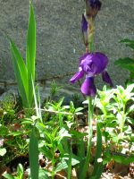 lonely iris by crazygardener