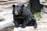 asiatic black bear by surplusstock