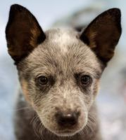 Blue Heeler Puppy by Little-Miss-Lurker