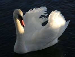 Swan by pixelwhore88