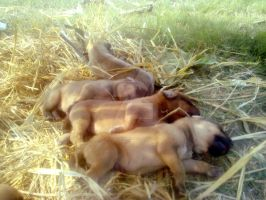 Sibling Puppies - Final by bless-rehman