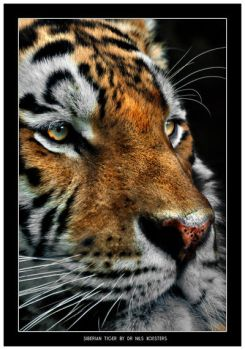 Siberian Tiger close up by Dr-Koesters