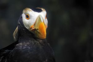 Tufted Puffin Mugshot by mydigitalmind