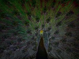 Peacock manip by Ommadawn