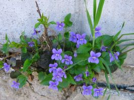 Purple Violet In The Wall by AngelTimi88