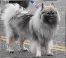 Stock: Keeshond by Stock-By-Michelle