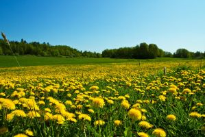 Dandelion meadows by attomanen