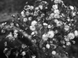 fluffy seedheads by Blue-eyed-Kelpie