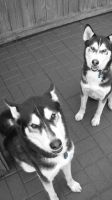 Huskies by J-Austin