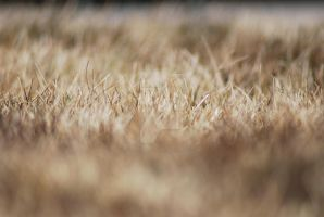Depth of Field - Grass by exarobibliologist