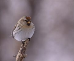 Rolly Polly Redpoll by dove-51