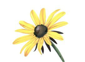 Black-Eyed Susan #1 by ab39z