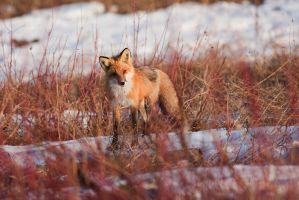 Fox sees photographer by Thomas-Koidhis