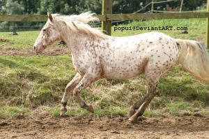 appaloosa pony16_stock by popui