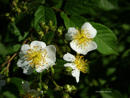 White flowers wild by Mogrianne