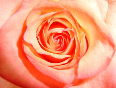 Pale Pink Up Close by Thebabyduck