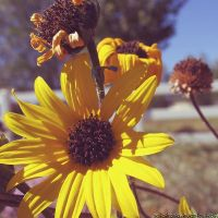 gold sunflower by sataikasia