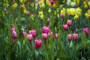 Tulips And Daffodils by Vividlight