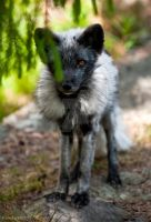 Arctic Fox2 by PictureByPali