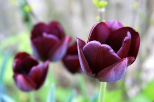 Black Tulips by CecilyAndreuArtwork