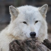 White Wolf by Treekami