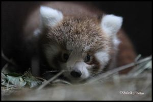Baby of Red Panda by QuickiePhotos