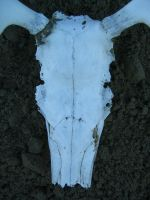 Small caribou skull 5 by Arctic-Stock