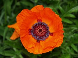 Eye Pop  Poppy by davincipoppalag