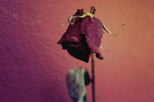.under.the.rose. by Wicked-Lexie