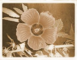 antique flower by ilnanny