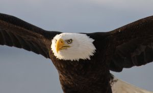 Bald Eagle Fly by by JWFisher