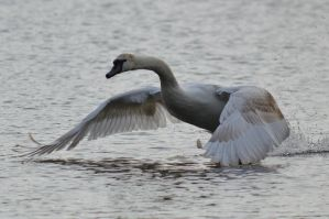 Swans 2014 5 4 by melrissbrook