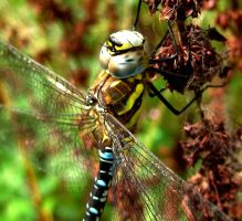 Southern Hawker Male 6 by iriscup