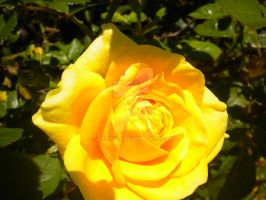 yellow rose by zack347