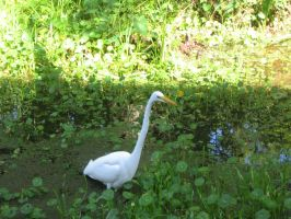 White great heron 06 by CotyStock