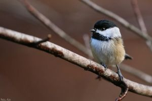 Chickadee by mydigitalmind