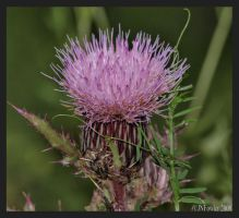 Blooming Thistle by texasghost
