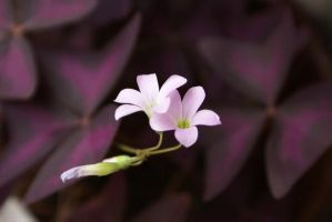 Oxalis by Wohald