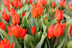 Red Tulips by panna-cotta