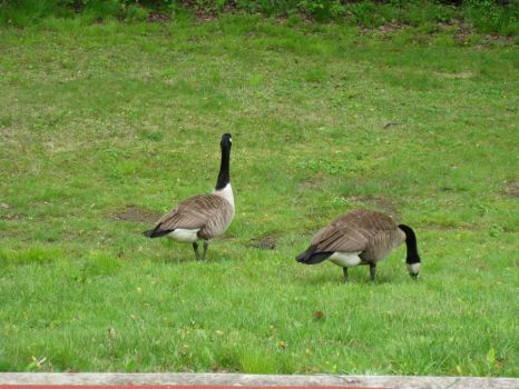 Geese by AnotherStalker