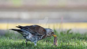 Fieldfare by 75ronin